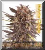 Monster Cheese Single Mix & Match Cannabis Seeds
